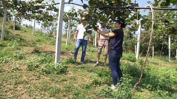 Kocaeli Çiftçisi Büyükşehir desteğiyle 'Kivi'de yüksek verim aldı