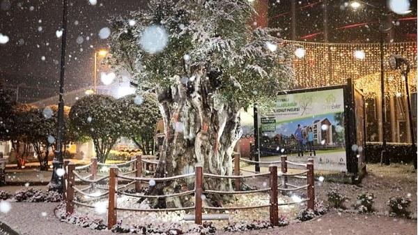 Photo of 600 yıllık zeytin ağacımız İzmit halkının gözdesi oldu