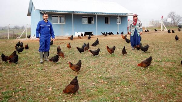 Büyükşehir'den çiftçilere yüzde 50 hibeli tavuk desteği